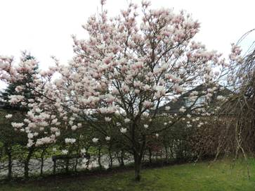 mangolienbaum.jpg